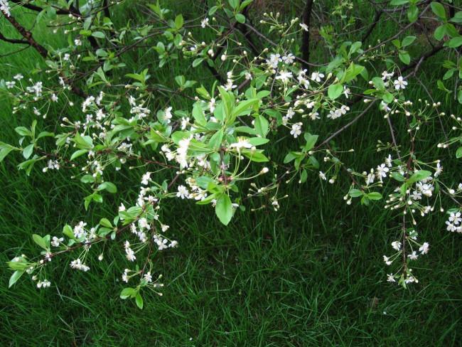 Цветение деревьев и кустарников